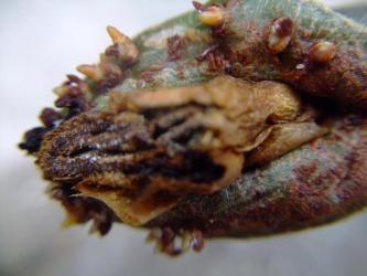 ディディエレア科 アローディア属 ドゥモーサ(Didiereaceae Alluaudia dumosa)切り取りました!根が出ています!2011.08.11