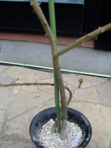 ディディエレア科 アローディア属 ドゥモーサ(Didiereaceae Alluaudia dumosa)痛んだ幹を切り取り根が出ていたので植え替えました!2011.08.11