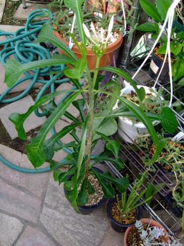 キョウチクトウ科 プルメリア属 プディカ(Apocynaceae Plumeria pudica)同義語ブライダルブーケなど2011.08.13