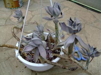 パキベリア 月花美人?(Pachyphytum oviferum x Pachyveria Marvella?)カリカリに縮んでいます!2011.08.13