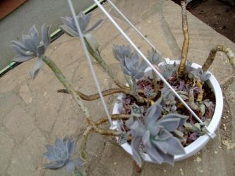 パキベリア 月花美人?(Pachyphytum oviferum x Pachyveria Marvella?)水やり後少し戻りました!復活力!