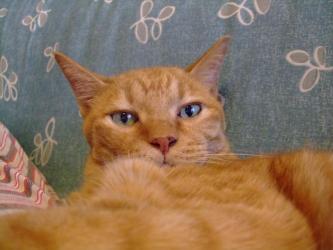 ジジの腹の上でくつろぐ~猫wレブンはジジっこです!2011.0814