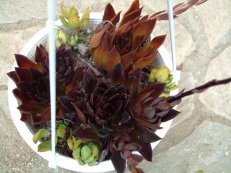 エケベリア 古紫(Echeveria affiniss)