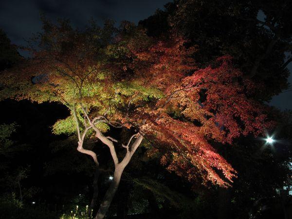 染井門前にあるモミジ。この日はまだ緑色の葉が残っていたが、現在は全体が赤く色づいているものと思われる。