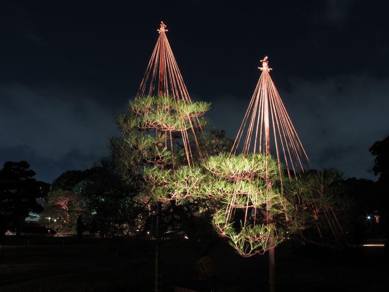 雪吊りが施されたマツの木。冬を象徴する光景。