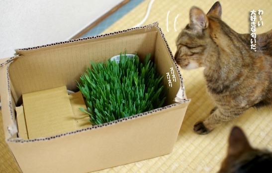 っキャーーー猫草の匂い~のコピー