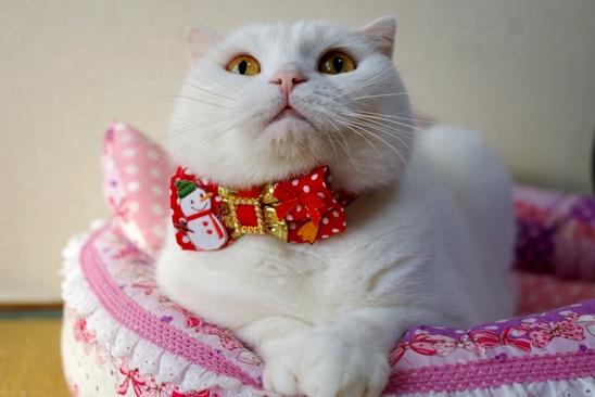 新しいクリスマス首輪だよ000たま