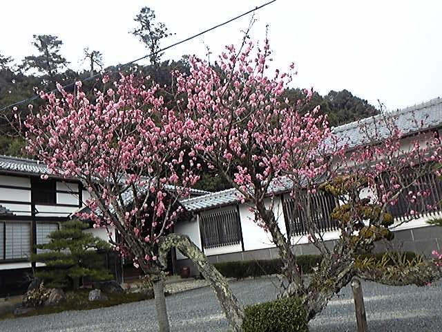 京都府宮津市の含紅桜