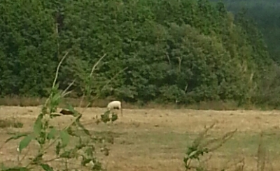 朝霧の羊②