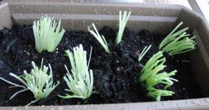 みつば&水菜植え