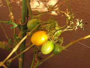 夕暮れミニトマト