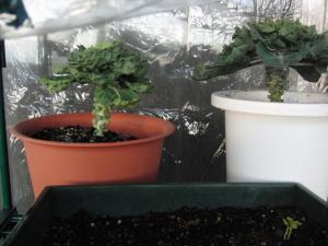 芽キャベツ110112