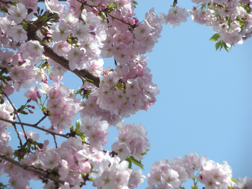 青空と桜2