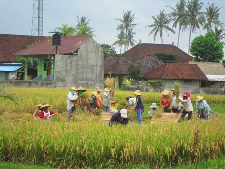 bali 稲刈り 脱穀
