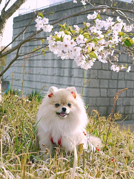 2010/04/11 平塚馬入ふれあい公園桜