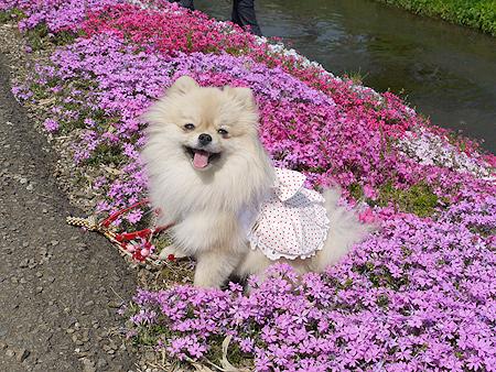 2010/4/18 渋田川芝桜まつり2