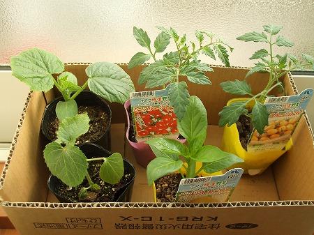 夏野菜の苗たち