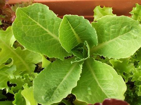 葉に艶がなく固くなってきたコスレタス