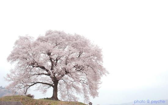 sakura effect.