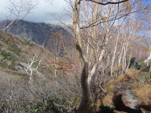 6八方池から登る途中のダケカンバ (500x375)