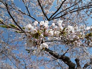 2011年五稜郭公園桜