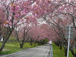 八重桜並木2
