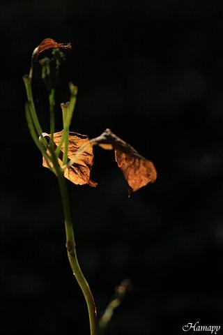 紫陽花・葉跡