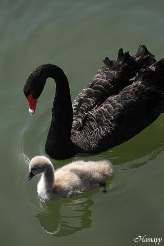 黒鳥Baby