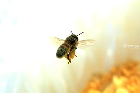 ミツバチと牡丹