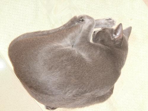 コラート猫「めい」発情期1