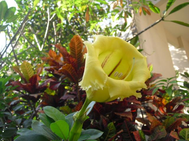 レモンイエローの花1