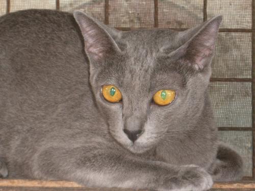 コラート猫「めい」のお見合い