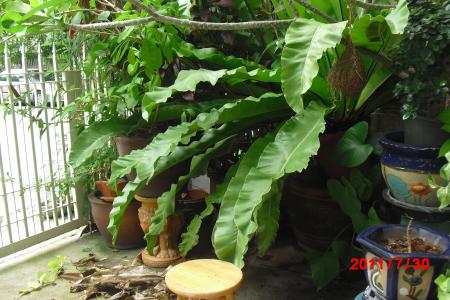 ジャングル1.1