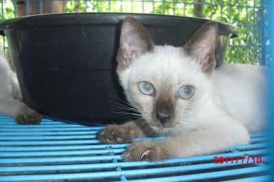 シャム猫4