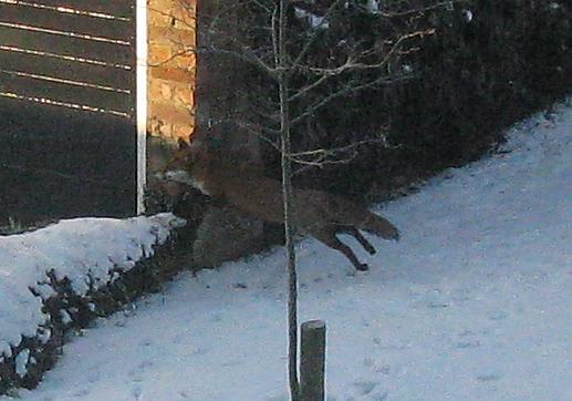 xmas fox 2