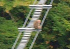 s2吊橋を渡るサル