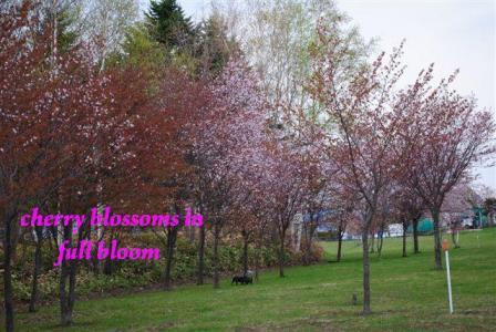 2010年桜満開