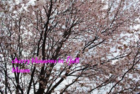 2010年桜・桜2