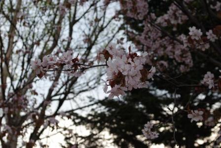 2010年桜・桜