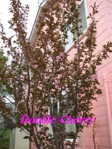 2010年5月26日八重桜開花