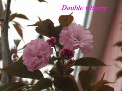 2010年八重桜開花2