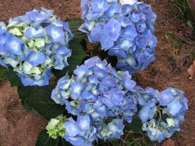 2010年6月11日紫陽花