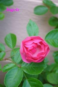 2010年6月27日アンジェラ開花