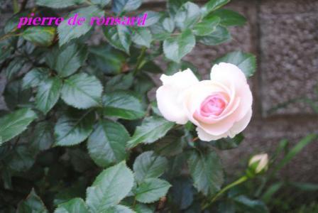 2010年6月27日ピエールロンサール開花