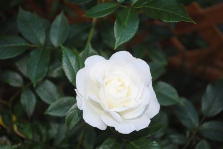 2010年6月29日アイスバーグ開花