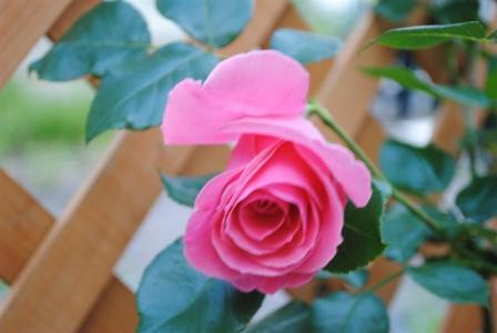 2010年6月29日ラビーニア開花