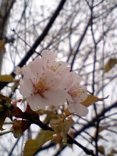チロル横桜