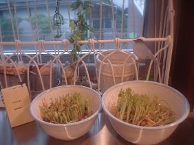 キッチン栽培