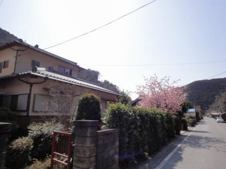2011-2-26 河津桜0038