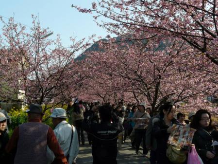 2011-2-26 河津桜0060
